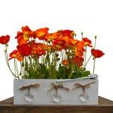 Papoilas vermelhas no isoladas Imagem de Stock Royalty Free