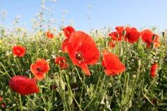 Papoilas vermelhas no prado Foto de Stock Royalty Free