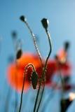 Papoilas vermelhas nos campos de grão fotografia de stock