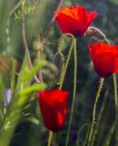 Papoilas vermelhas selvagens no campo de florescência Mola no conceito da natureza Foto de Stock