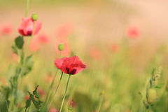Papoilas vermelhas vibrantes na luz solar Fotografia de Stock Royalty Free