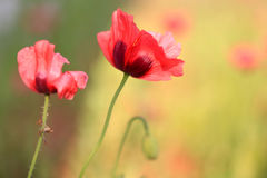Papoilas vermelhas vibrantes na luz solar Fotografia de Stock