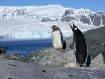 Papou penguins. Petermann Island (Antarctic Royalty Free Stock Images