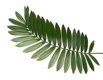 Papp gömma i handflatan eller Zamiafurfuraceaen eller mexikancycadbladet som isoleras på vit bakgrund fotografering för bildbyråer