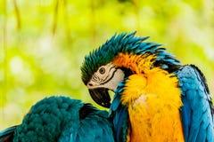 Pappagalli Blu-e-gialli dell'ara Fotografia Stock Libera da Diritti