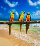 Pappagalli Blu-e-gialli dell'ara sulla spiaggia Immagini Stock