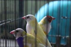 Pappagalli, canarini in una gabbia Fotografia Stock