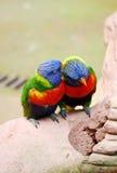 Pappagalli colorati luminosi che stringono a sé insieme Fotografia Stock