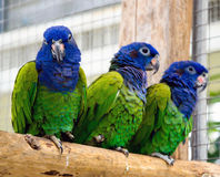 pappagalli del Verde-corpo della Blu-testa Immagini Stock Libere da Diritti