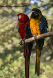 Pappagalli dell'ara Fotografia Stock