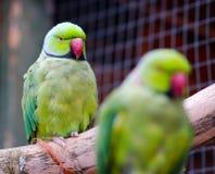 Pappagalli di Ringneck dell'australiano Fotografia Stock