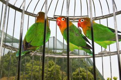 Pappagalli in gabbia Fotografia Stock Libera da Diritti
