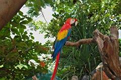 Pappagalli gialli blu rossi uno con le mattonelle lunghe che si siedono su un ramo di un albero Fotografia Stock