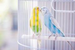 Pappagalli gialli e blu fotografie stock