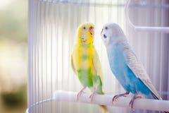 Pappagalli gialli e blu fotografia stock