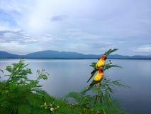 Pappagalli in natura sulla cresta nella diga Chonburi, Tailandia immagine stock libera da diritti