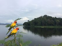 Pappagalli in natura sulla cresta nella diga Chonburi, Tailandia fotografia stock
