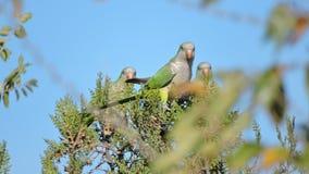 pappagalli nella Patagonia Fotografia Stock