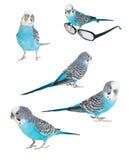 Pappagallino ondulato blu isolato Fotografia Stock Libera da Diritti