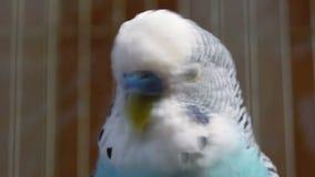 Pappagallino ondulato blu in una fine della gabbia su stock footage