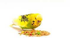 Pappagallino ondulato che mangia seme misto Immagine Stock Libera da Diritti