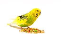 Pappagallino ondulato che mangia seme misto Immagine Stock