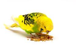 Pappagallino ondulato che mangia seme misto Fotografia Stock Libera da Diritti