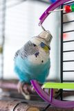 Pappagallino ondulato con una campana sulla sua testa fotografia stock