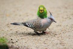 Pappagallino ondulato e piccione crestato Fotografie Stock Libere da Diritti