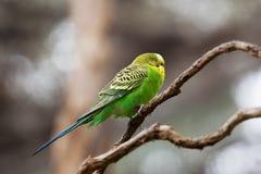 Pappagallino ondulato - pappagallo di canzone che si appollaia sul primo piano del ramo di albero Fotografia Stock Libera da Diritti