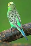 Pappagallino ondulato verde Fotografia Stock Libera da Diritti