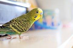 Pappagallino ondulato verde (budgie domestico) Fotografia Stock