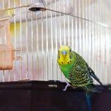 Pappagallino ondulato verde (budgie domestico) sulla gabbia Fotografia Stock
