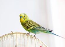 Pappagallino ondulato verde che si siede sulla gabbia Immagini Stock Libere da Diritti