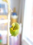 Pappagallino ondulato verde che si siede sulla gabbia Fotografia Stock