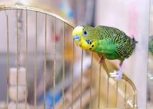 Pappagallino ondulato verde sulla gabbia Fotografie Stock Libere da Diritti