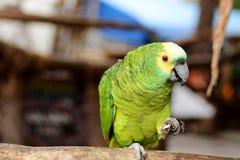 pappagallo Immagine Stock