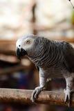 pappagallo Fotografia Stock Libera da Diritti