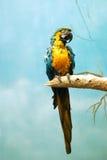 pappagallo Immagini Stock