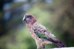 Pappagallo alpino endemico Kea, notabilis della Nuova Zelanda di Nestor, sedentesi immagini stock libere da diritti