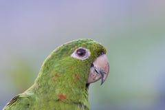 Pappagallo (Amazone) Fotografie Stock Libere da Diritti