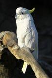 Pappagallo bianco fotografia stock libera da diritti