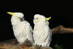 Pappagallo bianco immagini stock libere da diritti