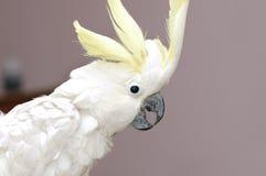 Pappagallo bianco Fotografia Stock
