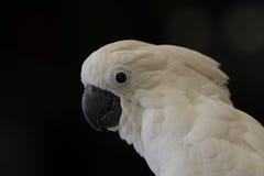 Pappagallo bianco Fotografie Stock