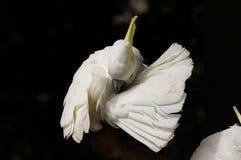 Pappagallo bianco Immagine Stock