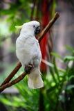 Pappagallo bianco Immagini Stock