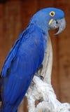 Pappagallo blu Fotografia Stock