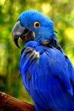 Pappagallo blu Immagini Stock