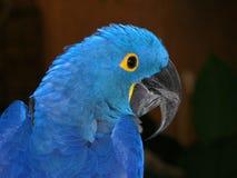 Pappagallo blu Fotografie Stock
